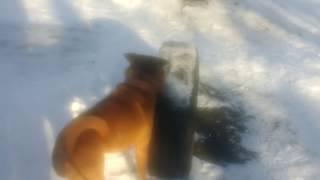Юмор и прикол. Что умеет делать собака породы Китайский Шар-Пей 2018 What can do dog  Shar Pei