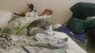Познавательное видио о том как вылизывается кошка