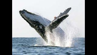 Три горбатых кита одновременно выпрыгнули из воды