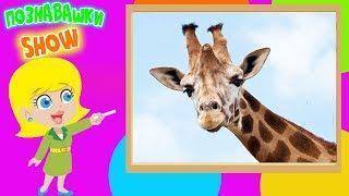 Жирафы познавательное и обучающее  видео для детей обучающее