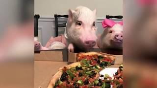 Эти забавные свинки. Год свиньи настал. Приколы со свинками. Юмор!